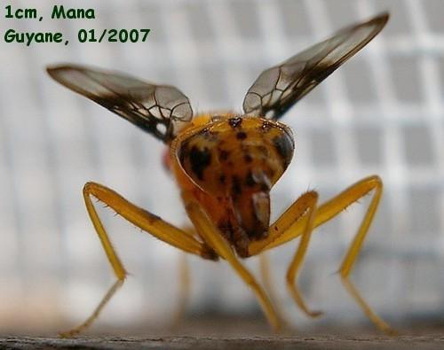 Diptera Richardiidae  Coilometopia trimaculata (Fabricius) Diptere_dos